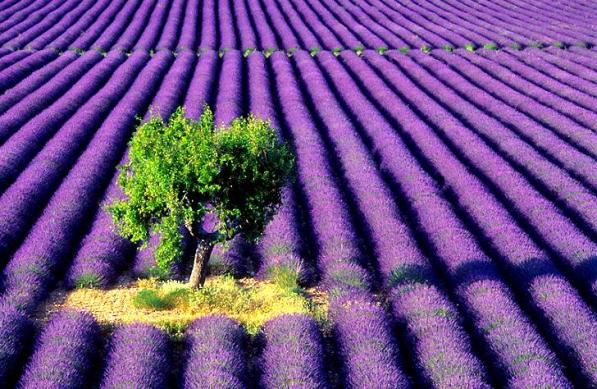A Lavender Farm & Lonely Tree